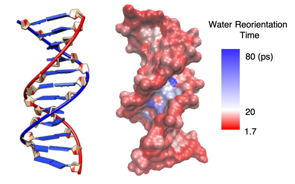 DNA hydration dynamics